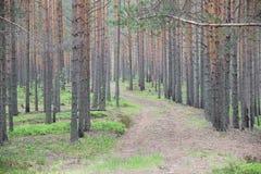 I pini sono alberi della conifera nel genere pinus Immagine Stock