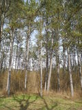 I pinjeskogen Crimean berg Arkivbild