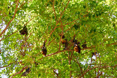 I pipistrelli vivono su un grande tree_1 immagini stock libere da diritti