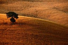 I poggi ondulati di Brown seminano il campo con l'albero solo del solitario, il paesaggio dell'agricoltura, Toscana, Italia Fotografie Stock Libere da Diritti