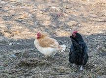 I polli camminano nel giardino dell'azienda agricola Polli nel cortile Azienda avicola immagine stock libera da diritti