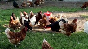 I polli che camminano sull'erba verde in uccello coltivano Agricoltura del pollo Avicoltura video d archivio