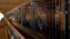 I polli da carne dell'allevamento ed i polli, polli da carne si siedono dietro le barre nella capanna, il pollaio, polli da carne archivi video