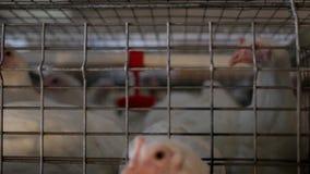 I polli da carne dell'allevamento ed i polli, polli da carne si siedono dietro le barre nella capanna, il pollaio, polli da arros stock footage