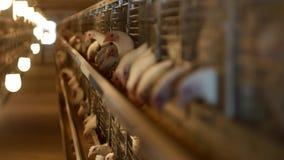 I polli da carne dell'allevamento ed i polli, polli da carne si siedono dietro le barre nella capanna, il pollaio, di casa casa stock footage