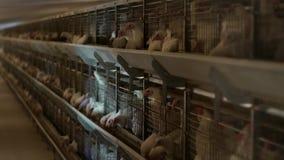 I polli da carne dell'allevamento ed i polli, polli da carne si siedono dietro le barre nella capanna, il pollaio, gabbia di poll archivi video