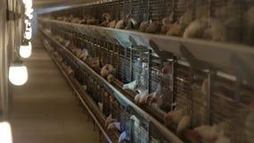 I polli da carne dell'allevamento ed i polli, polli da carne si siedono dietro le barre nella capanna, il pollaio, l'agricoltura stock footage