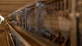 I polli da carne dell'allevamento ed i polli, polli da carne si siedono dietro le barre nella capanna, il pollaio, l'industria video d archivio