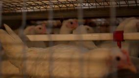 I polli da carne dell'allevamento ed i polli, polli da carne si siedono dietro le barre nella capanna, il pollaio, produzione archivi video