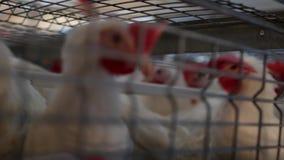 I polli da carne dell'allevamento ed i polli, polli da carne si siedono dietro le barre nella capanna, pollaio, organico video d archivio