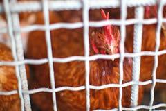 I polli domestici Immagine Stock Libera da Diritti