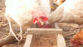 I polli mangiano il grano Primo piano stock footage
