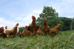 i polli pascolano alzato Fotografia Stock Libera da Diritti