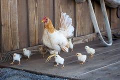 I polli vanno in giro l'azienda agricola Immagine Stock Libera da Diritti