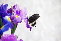 I polytes mormonici comuni di Papilio della farfalla sull'iride fioriscono Immagine Stock