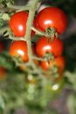 I pomodori Immagine Stock Libera da Diritti