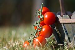 I pomodori di ciliegia freschi si chiudono in su Fotografia Stock Libera da Diritti