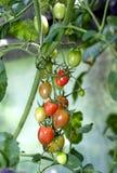 I pomodori maturano. Cultivar della ciliegia. Fotografia Stock