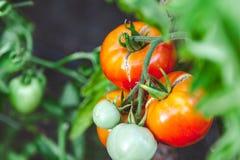 I pomodori maturi rossi si sviluppano sul ramo del cespuglio verde Immagine Stock