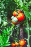 I pomodori maturi rossi si sviluppano sul ramo del cespuglio verde Immagini Stock