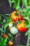 I pomodori maturi rossi si sviluppano sul ramo del cespuglio verde Fotografie Stock