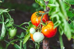 I pomodori maturi rossi si sviluppano sul ramo del cespuglio verde Fotografia Stock Libera da Diritti