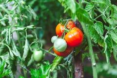 I pomodori maturi rossi si sviluppano sul ramo del cespuglio verde Immagine Stock Libera da Diritti