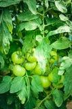 I pomodori non maturi verdi si sviluppano sul letto immagini stock