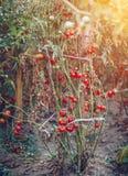 I pomodori rossi e verdi si sviluppano sull'estate dei ramoscelli Pomodoro naturale maturo Fotografia Stock Libera da Diritti