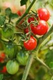 I pomodori si sviluppano Fotografie Stock