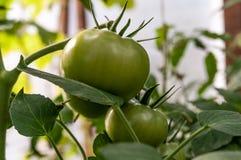 I pomodori verdi si sviluppano nel giardino immagine stock