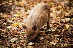 I porcellini ed i maiali domestici felici giocano e si divertono all'aperto Il concetto di ecologico e alimento biologico su un'a Immagini Stock