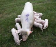 I porcellini stanno mangiando il latte nel seno della madre Immagine Stock Libera da Diritti