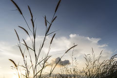 I prati fiorisce l'erba con il fondo del tramonto del cielo nell'inverno Immagine Stock