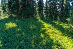 I prati verdi freschi del campo alpino ed i fiori e la montagna di fioritura di verde di foresta completa nei precedenti Immagine Stock Libera da Diritti