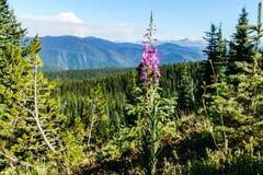 I prati verdi freschi del campo alpino ed i fiori e la montagna di fioritura di verde di foresta completa nei precedenti Fotografie Stock