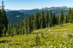 I prati verdi freschi del campo alpino ed i fiori e la montagna di fioritura di verde di foresta completa nei precedenti Fotografia Stock