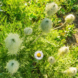 I prati verdi freschi del campo alpino ed i fiori e la montagna di fioritura di verde di foresta completa nei precedenti Immagine Stock