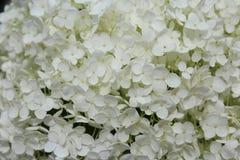 I precedenti consistono di piccoli fiori bianchi Fotografia Stock