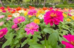 I precedenti dei fiori variopinti in parco Fotografia Stock