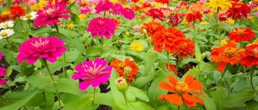 I precedenti dei fiori variopinti in parco Immagine Stock