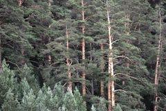 I precedenti dei pini Immagini Stock Libere da Diritti