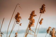 I precedenti della sfuocatura di erba fioriscono sul paesaggio del tramonto con il filtro caldo dal tono Fotografia Stock Libera da Diritti