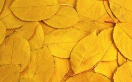 I precedenti delle foglie gialle Immagine Stock