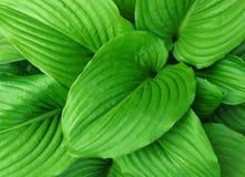 I precedenti delle foglie verdi Immagini Stock
