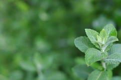 I precedenti di verde del ` s del ramo della menta fresca Fotografia Stock Libera da Diritti
