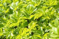 I precedenti verdi di erba diserbano i ramoscelli Erbaccia dell'erba Fotografia Stock Libera da Diritti