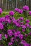 I primi fiori della molla dei rododendri lilla Sorgente in anticipo fotografia stock libera da diritti