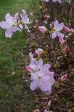 I primi fiori della molla dei rododendri rosa Sorgente in anticipo fotografia stock libera da diritti