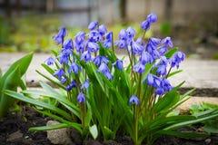 I primi fiori della molla Fiori di Snowdrops Fiori al sole immagine stock